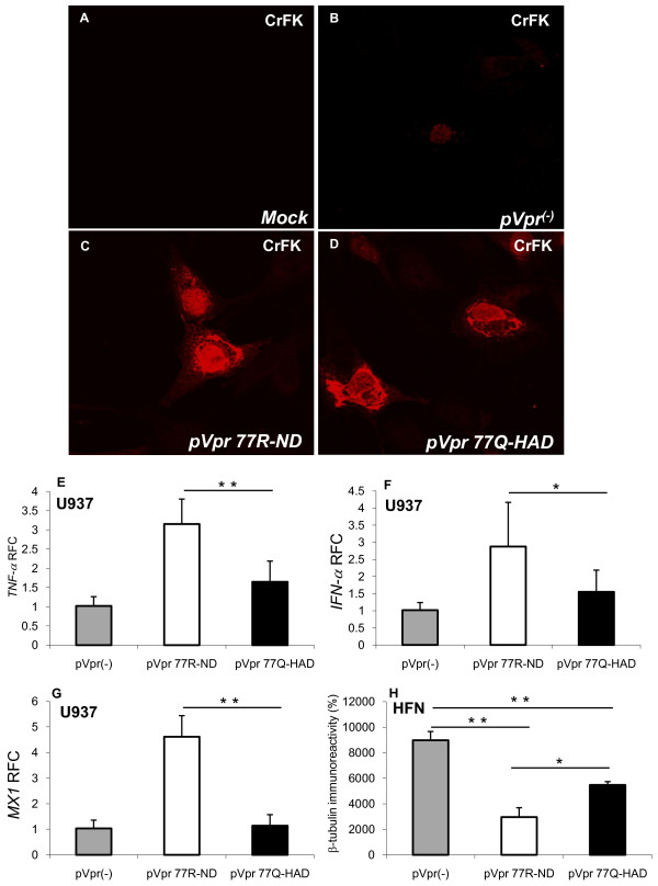 Expression and intracellular actions of Vpr 77Q and 77R . (A) Mock-transfected CrFK cells exhibited no Vpr immunoreactivity; (B) A non-expressing Vpr plasmid (p Vpr (-) ) also show weakly Vpr immunoreactivity in transfected CrFK cells; (C) and (D) Vpr immunoreactivity was readily detected in the cytoplasm and nuclei of CrFK cells transfected with (C) p Vpr77R-ND and (D) p Vpr77Q-HAD; (E) p Vpr77R-ND transfection of U937 cells caused an induction of TNF-α/vpr transcript abundance relative to p Vpr (-) ; (F) likewise, p Vpr77R-ND activated IFN-α/vpr transcription in U937 cells; (G) p Vpr77R-ND also induced expression of MX1/vpr ; (H) Supernatants from both p Vpr77Q-HAD and p Vpr77R-ND transfected U937 cells were neurotoxic to human fetal neurons (HFN), as evidenced by reduced β-tubulin immunoreactivity, although the supernatants from the p Vpr77R-ND transfected U937 cells were more cytotoxic. Original magnification 600×. Real time PCR data was normalized against the matched Vpr mRNA levels. Experiments were carried out in triplicate at least two times (E-G, Dunnett test, relative to control; * p