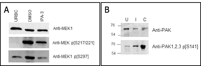 Effects of PAK1 inhibitors on MEK1 phosphorylation and phosphorylation status of host erythrocyte PAK1 in P. falciparum -infected cells. A. Effect of the IPA-3 PAK1 inhibitor on MEK1 Ser-297 phosphorylation. Synchronous P. falciparum cultures were treated at ring stage with 15 µM IPA-3 (or with the DMSO vehicle only) for 27 h prior to Western blot analysis using the antibodies indicated to the right. URBC, uninfected red blood cells. B. Increased phosphorylation of PAK1 Ser-144 in iRBCs. A Western blot analysis was performed on protein extracts from in vitro cultured infected (I) or uninfected (U) RBC ghosts using anti-PAK1 antibody (Cell Signaling; top panel) or anti-phospho-PAK 1/2/3 (Ser-144) (Invitrogen; bottom panel). Lane C (positive control) contains an extract of A673 cells (Santa Cruz).