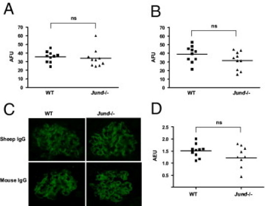 Deposited glomerular IgG and humoral immune response assessment in WT and Jund -/- mice 10 days after accelerated NTN induction. Quantitative immunofluorescence for sheep IgG ( A ) and mouse IgG ( B ). Representative glomeruli showing immunofluorescence for sheep and mouse IgG 10 days after the induction of accelerated NTN ( C ). Serum levels of mouse total IgG specific for sheep IgG ( D ). Ten mice were used in each group. AFU indicates arbitrary fluorescence unit; AEU, arbitrary enzyme-linked immunosorbent assay unit; ns, nonsignificant.