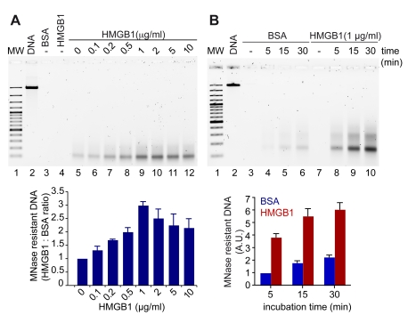 HMGB1 promotes the assembly of chromatin in vitro. (A) Chromatin was assembled in vitro on linear DNA using purified histones, hNAP1, ACF, and increasing amounts of HMGB1 protein; then it was digested with MNase. The residual DNA after digestion was electrophoresed on a 1.5% agarose gel (upper panel) and quantified with PicoGreen (normalized to the reaction containing BSA, lower panel). Error bars, SD of three replicates. (B) Chromatin was assembled in the presence of a fixed amount of HMGB1 (1 µg/ml), or BSA as control, for the indicated time points. Electrophoresis (upper panel) and quantification by PicoGreen (lower panel) of the residual DNA after digestion with MNase are shown. Error bars, SD of three replicates. MW: 100 bp ladder.