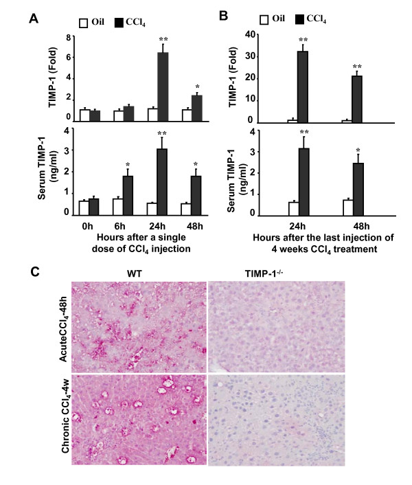 Up-regulation of hepatic and serum TIMP-1 levels following CCl 4 -induced acute or chronic liver injury in mice . A , Mice were treated with a single dose of CCl 4 injection or vehicle (olive oil) injection. Liver tissues were then collected and subject to real-time PCR analysis of hepatic TIMP-1 mRNA (top panel). Sera were collected for measurement of TIMP-1 protein by ELISA (low panel). B , Mice were treated chronically with CCl 4 or vehicle (olive oil) for 4 weeks. Liver tissues and sera were collected 24 and 48 h after the last injection and subject to real-time PCR (top panel) and ELISA analyses (low panel) of TIMP-1. The values from vehicle-treated group were set as 1 fold in real-time PCR analyses. Values represent means ± SEM (n = 4). * P