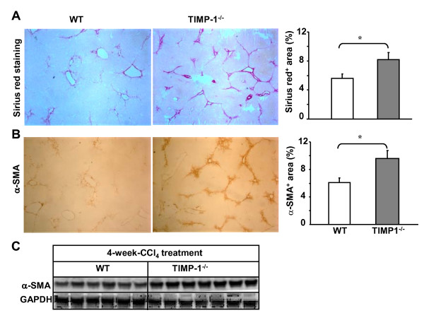 TIMP-1 -/- mice have greater liver fibrosis than wild-type mice post 4-week-CCl4 treatment . Mice were treated with CCl 4 for 4 weeks and euthanized 24 hours following the last injection. A, B , Liver tissues were collected for Sirius red staining (A) and immunohistochemical staining with α-SMA antibodies (B). The surface areas stained with Sirius red or α-SMA were quantified and shown in the right panel. C , Western blot analyses of α-SMA from liver tissue protein extracts. The values represent values ± SEM (n = 5-8). * P