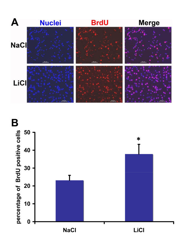 Lithium significantly increased percentage of BrdU + cells in RG3.6 cell cultures . RG3.6 cells were grown in culture medium containing 3 mM LiCl or control NaCl on laminin-coated coverslips for 3 days followed by 4 hours of BrdU labeling and subsequent BrdU immuno-staining. The data represent mean ± standard error. *: Bonferroni/Dunn, P