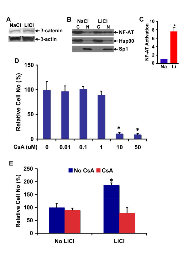 Calcineurin/NFAT inhibitor cyclosporin A antagonized lithium-induced cell number increase in RG3.6 cell cultures . (A) Lithium did not significantly change β-catenin expression in RG3.6 cells. RG3.6 cells were grown for 3 days in culture medium containing 3 mM LiCl or 3 mM control NaCl. The cells were then lysed in RIPA for western blotting analysis on β-catenin and β-actin expression. (B) Lithium increased nuclear expression of NF-AT. Aliquot of cells from A were used for cytoplamic and nuclear fractionation, followed by western blotting assays for the subcellular expressions of NF-AT. (C) Lithium stimulated transcriptional activation of NF-AT. RG3.6 cells treated with LiCl or NaCl were used for gene reporter assays. The luciferase activity is presented as fold induction relative to that of NaCl-treated cells. *: paired t test, P