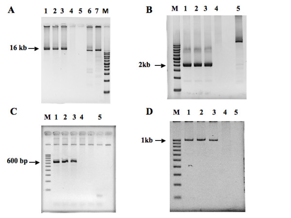<t>PCR-based</t> breakpoint identification. (A) Long-range PCR products of ~ 16 kb covering the breakpoint region of the derivative chromosome 12. M: DNA size marker; 1. II-1, 2. II-3, 3: I-2, 4: I-1, 5: water blank, 6: positive control for long-range PCR using genomic DNA as a template, 7. positive control for long-range PCR using phage lambda as a template. (B) The breakpoint region of derivative chromosome 12 was further narrowed down to a PCR product of ~ 2 kb. M: DNA size marker; 1. II-1, 2. II-3, 3: I-2, 4: I-1, 5: positive control for long-range PCR using genomic DNA as a template (C). To sequence the breakpoint region, a PCR product of 600 bp covering the breakpoint region of derivative chromosome 12 was generated and subjected to <t>autosequencing.</t> M: DNA size marker; 1. II-1, 2. II-3, 3: I-2, 4: I-1, 5: water blank. (D) PCR products of ~ 1 kb covering the breakpoint region of derivative chromosome 1 were obtained and subjected to autosequencing. M: DNA size marker; 1. II-1, 2. II-3, 3: I-2, 4: I-1, 5: water blank.