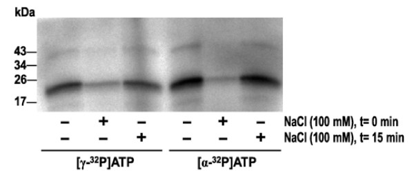 Effect of increased ionic strength on labeling of VEGF-A 165 with [γ- 32 P]ATP and [α- 32 P]ATP . VEGF-A 165 (3 μg) was incubated with radioactive ATP (5 μCi) in Tris-HCl (pH 7.5) at 37°C for 30 min. NaCl (100 mM) was added at times (t) indicated.