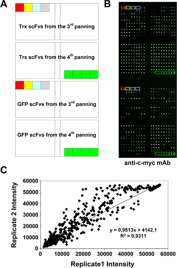 Printing conditions and scFv antibody microarrays reproducibility . A) Printing map of a microarray comprising 384 scFvs against GFP or Trx. Controls used in the assay were: red box, mAb anti-T7Tag, 1:10 diluted. Yellow box, mAb anti-T7Tag 1:100 diluted. Blue box, crude Trx (top) or GFP (bottom) RTS extract 1:10 diluted. Grey box, printing buffer. Green box, TA4 anti-gastrin17 scFv; from right to left 1:10, 1:100, 1:1000 and 1:1000 dilutions. B) A representative image of a microarray probed with an anti-c-myc antibody to assess the correct printing of the scFvs. For detecting c-myc antibody, slides were incubated with Alexa Fluor 555-labeled goat anti-mouse IgG antibodies. White spots indicate a saturation of the green signal intensity. C) scFvs were spotted in duplicate onto FAST nitrocellulose coated slides to verify the intra-assay reproducibility. Replicated spots showed a uniform intensity either visually or by GenePix analysis. The two intensity values for each clone were quantified and plotted to assess the intra-array reproducibility.
