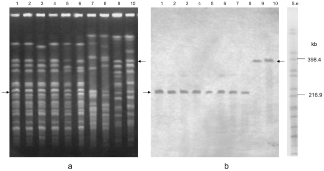 PFGE of Xho I-digested DNA of strains ISS-145/1 (lane 1); ISS-20 (lane 2); ISS-21 (lane 3); ISS-109 (lane 4); ISS-86 (lane 5); ISS-190 (lane 6); KZ-1886 (lane 7); KZ-1890 (lane 8); LCL-063 (lane 9); LCL-155 (lane 10). S.e., XbaI -digested genomic DNA fragments of Salmonella enterica serotype Braenderup strain H9812 (ref. 34). PFGE conditions: 4–40 s pulse at 6 V/cm for 18 h ( 6a ). Southern hybridization with a bont /E gene probe showing that the gene probe hybridized to single restriction bands, as indicated by the black arrows ( 6b ).