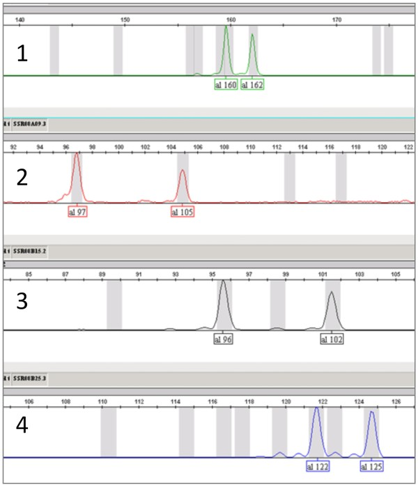 Electropherogram of four SSR markers obtained by multiplexed post PCR labeling in a single tube . Genotyping of four SSR markers listed in Table 2 successfully gave individual peaks labeled with different fluorescent dyes in a single tube. 1) SSR08A04/F9GCC + VIC (green). 2) SSR08A09/F9GTC + PET (red). 3) SSR08B15/F9GAC + NED (black). 4) SSR08B25/F9TAC + 6-FAM (blue). Numbers under each peak represent estimated fragment size. These electropherograms were obtained for Binkitsu ( C. platymamma hort. ex Tanaka).