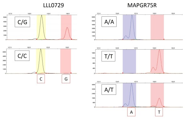 An application of post-PCR labeling with BStag for SNP markers . Two SSR markers listed in Table 3 demonstrated successful labeling of each allele with different colors using BStag. A marker LLL0729 demonstrated segregation of C/G alleles for two different citrus hybrids (C/G: a hybrid of C. kunip × C. kinokuni ; C/C: a hybrid of 'Lee' × C. kinokuni ) labeled with NED (allele C) and PET (allele G). Another marker MAPGR75R also demonstrated segregation of A/T alleles for three citrus accessions: A/A for 'Hayasaki' ( C. grandis 'Mato' × C. grandis 'Hirado'), T/T for a hybrid of C. kunip × C. kinokuni , and A/T for Satsuma mandarin.