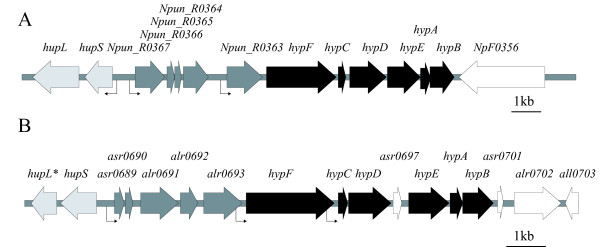 Genomic arrangement of the ORFs upstream of the hyp -genes in Nostoc punctiforme ATCC 29133 and Nostoc sp. strain PCC 7120 . (A) In the filamentous, heterocyst forming cyanobacterial strain N. punctiforme the five ORFs upstream of the hyp -genes are located upstream of the uptake hydrogenase structural genes, hupSL , and in between hupSL and the hyp -genes, hypFCDEAB . (B) The same genomic arrangement can be found in the filamentous, heterocyst forming cyanobacterial strain Nostoc PCC 7120. This genomic arrangement of the ORFs upstream of the hyp -genes seems to be conserved in filamentous cyanobacteria harboring an uptake hydrogenase [ 19 ] * indicates the 5' end of hupL (encoding the N-terminal end of HupL) as it is annotated in vegetative cells. The identified tsps upstream of hupSL [ 36 ], Npun_R0363 [ 27 ] and Npun_R0367 (this work) in ATCC 29133 and upstream of asr0689 , hypF and hypC in Nostoc PCC 7120 [ 19 ] are indicated by arrows.