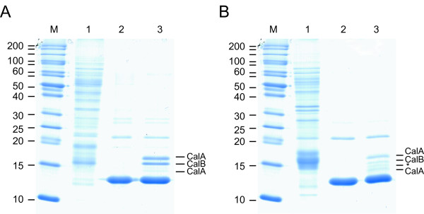 DNA affinity assay of the hupS / Npun_R0367 promoter region from Nostoc punctiforme ATCC 29133 and the hupS / asr0389 promoter region from Nostoc sp. strain PCC 7120 and total protein extract from respective strain . SDS-PAGE of proteins interacting with (A) the hupS / Npun_R0367 promoter region from N. punctiforme and (B) the hupS / asr0389 promoter region from Nostoc PCC 7120 from DNA-protein affinity assays. Lanes: M) protein molecular weight marker; 1) Total protein extract, 2) DNA-free negative control, 3) hupS / Npun_R0367 or hupS / asr0389 promoter region respectively. The unlabelled bands on the gel, present in both negative controls and samples, correspond to identified peptides either from unspecific binding, e.g. phycobilisome linker polypeptide (weak bands), artifacts from the experimental procedure, e.g. streptavidin (strongest band) or peptides with too low concentration to be identified (*).
