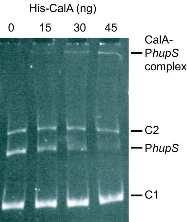 Electrophoretic mobility shift assay of the hupS/ Npun_R0367 promoter region in Nostoc punctiforme ATCC 29133 . Electrophoretic mobility shift assay showing specific binding of purified CalA to the N. punctiforme hupS upstream region. C1 - 308 bp control fragment, C2 - 1350 bp control fragment, P hupS - 558 bp hupS immediate upstream region fragment. 100 ng of each fragment and increasing amounts (see label for each lane) of purified histidine-tagged CalA (His-CalA) from Nostoc PCC 7120 were used in the reaction mixtures.