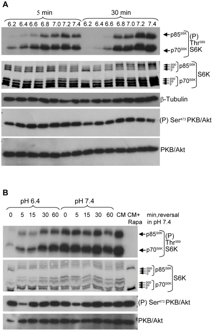 Rapid and reversible inhibition of mTORC1 signaling by acidic extracellular pH. A, MCF-7 cells were exposed for 5 min or 30 min to cell culture medium buffered to the indicated pH values. Lysates were analysed for mTORC1 activation by western blotting using antibodies to phospho-Thr 389 S6K and to S6K and for mTORC2 activation using antibodies to phospho-Ser 473 <t>PKB/Akt</t> and to PKB/Akt. Tubulin immunodetection was used as a protein loading control. B, MCF-7 cells grown in normal cell culture medium were exposed to medium buffered to pH 6.4 or 7.4 for 30 min. The medium was removed and replaced with medium buffered to pH 7.4 and samples were harvested immediately (0 min) or at the indicated times. In parallel, cells were exposed or not to the mTORC1 inhibitor rapamycin (Rapa, 30 nM) for 30 min in normal cell culture medium (CM). Lysates were analysed by immunoblotting. Note that changing the cell culture medium caused a minor and transient decrease in PKB/Akt Ser 473 phosphorylation that was independent of acidic pH. Results shown in all figures are representative of three or more independent experiments.