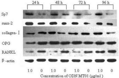 Western blotting analysis of expression level of Sp7, runx-2, collagen-I, OPG and RANKL in ODN MT01 treatment group and control group at predetermined time.