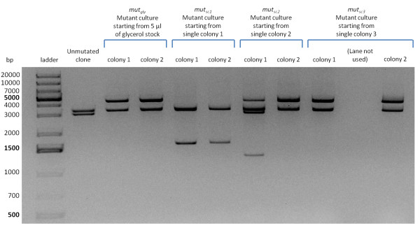Restriction analysis of pLC-T4LysHSL mutants . Plasmid DNA was digested with EcoRI and PstI. In all the screened clones two bands (vector backbone and insert) are present except in colony 1 of mut sc2 , in which four bands can be observed. The expected vector backbone (~3.2 kbp) is present in all the clones, demonstrating that deletions or insertions occurred only in the insert, while all the mutated insert bands are clearly different from the unmutated culture (~2.8 kbp). As sequencing showed, colony 1 of mut sc2 had plasmids with two different mutated inserts in the same clone, one of which containing an EcoRI restriction site that, when digested, produces 2 bands.