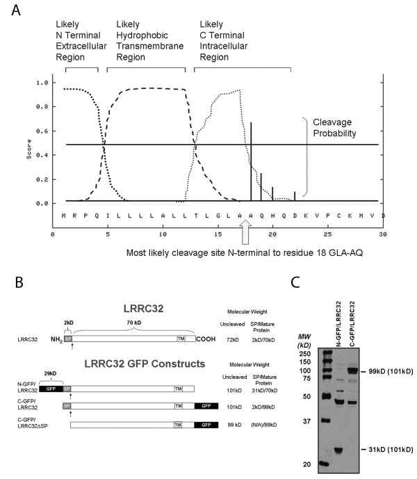 <t>LRRC32</t> contains an N-terminal signal peptide and a transmembrane region . a) Analysis of the amino acid sequence of LRRC32 by SignalP 3.0 software predicted a putative N-terminal cleavage site between alanines 17 and 18. Alternative potential cleavage sites are predicted and indicated as vertical solid lines on amino acids 19, 20, and 22. b) To address the actual cleavage site, N-terminal and C-terminal GFP-tagged constructs were designed as depicted and generated to facilitate further analysis of surface expression and cleavage. SP = signal peptide. TM = transmembrane region. GFP = green fluorescent protein. Arrow = putative cleavage site. c) Anti-GFP immunoblot analysis of total lysates from C-and N- terminal expressing clones revealed 99 kD (29 kD GFP + 70 kD LRRC32) and 31 kD (29 kD GFP + 2 kD LRRC32 signal peptide) fusion proteins respectively. Expected sizes of uncleaved fusion proteins, based upon predicted protein sequences, are shown in parentheses. The difference in protein size between the C- and N-terminal fusion proteins confirms a cleavage site in the N-terminus of the protein between alanines 17 and 18.