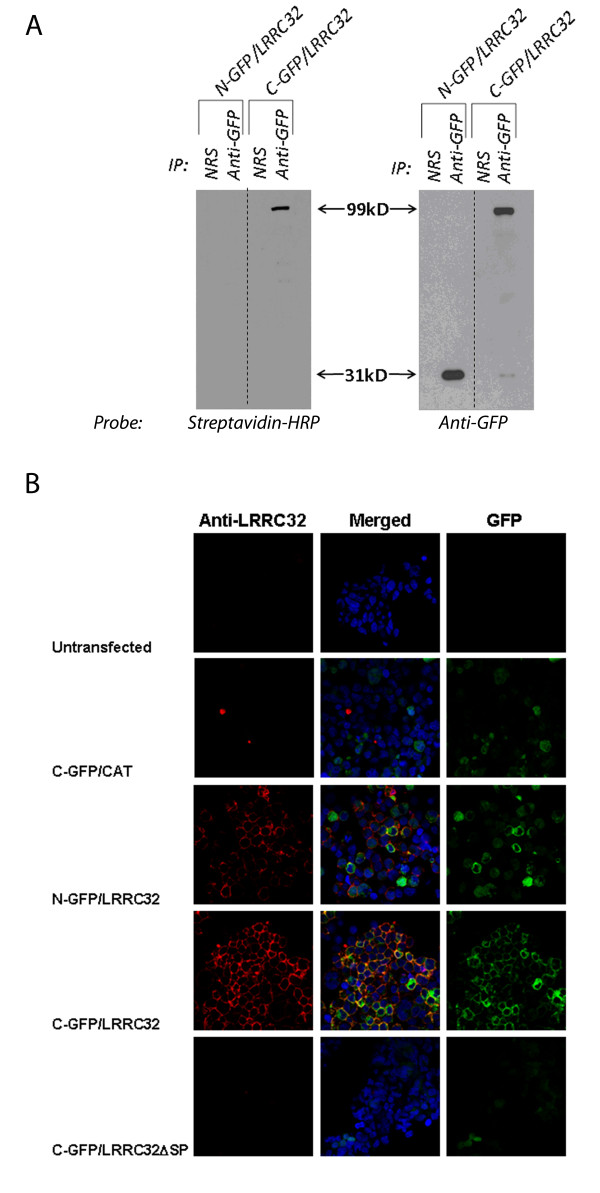 LRRC32 is a cell surface protein . a) C-and N- terminus GFP-tagged LRRC32 expressing HEK293 cell clones were surface biotinylated, and cell lysates were immunoprecipitated using antibody specific for GFP or using normal rabbit serum (NRS) as a control (left and right panels). Protein lysates were then electrophoresed, transferred to membrane PDVF, and probed for the presence of biotinylation using streptavidin-HRP (left panel only). Blots were also probed with anti-GFP (right panel only). b) Confocal analysis of untransfected (top row) HEK293 cells, C-GFP/CAT-transfected HEK293 cells (second row), N-GFP/LRRC32-transfected HEK293 cells (third row), C-GFP/LRRC32-transfected HEK293 cells (fourth row), and C-GFP/LRRC32ΔSP-transfected HEK293 cells (last row); Green = GFP, Red = anti-LRRC32 antibody, Blue = nuclear counterstain. The left column shows anti-LRRC32 only. The right column shows GFP only. The middle column shows the merged composite confocal picture (anti-LRRC32 + GFP) with the nuclear counterstain.