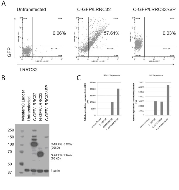A 17 AA signal peptide is required for the cell surface expression of LRRC32 . a) Untransfected HEK293 cells or cells transfected with either C-terminus GFP-tagged LRRC32 or C-terminus GFP-tagged LRRC32 with a deleted signal peptide region were analyzed by flow cytometry for surface expression of LRRC32 or GFP expression. b) Anti-LRRC32 immunoblot analysis of total lysates from C-and N- terminus GFP-tagged LRRC32 expressing clones revealed intact LRRC32 expression at 99 kD (fusion protein: 29 kD GFP + 70 kD LRRC32) and 70 kD, respectively. However, immunoblot analysis of total lysates from C- terminus GFP-tagged LRRC32 expressing clones lacking an intact signal peptide did not detect the presence of LRRC32 (rightmost lane). c) RT-PCR analysis of HEK293 cell lysates utilizing untransfected, C-CAT, C-terminus GFP-tagged LRRC32, or C-terminus GFP-tagged LRRC32 lacking an intact signal peptide was performed using primers for Lrrc32 (left panel) or GFP (right panel).