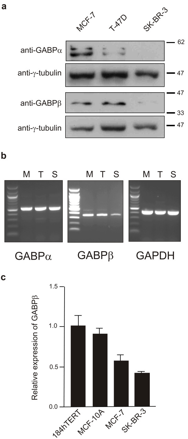 GABPα and β subunit protein and mRNA levels are decreased in the SK-BR-3 cell line . ( a ) Western blot analysis of whole cell lysates from MCF-7, T-47D and SK-BR-3 cells was carried out using antibodies to GABPα, GABPβ and the blots were then reprobed with anti-γ-tubulin as an internal control. Apparent molecular weight markers (kDa) are indicated to the right of the panels. ( b ) The relative transcript levels of the GABP subunits in MCF-7 (M), T-47D (T) and SK-BR-3 (S) cells were examined by semi-quantitative RT-PCR. Specific products were amplified from equal amounts of RT product from the cell lines indicated using primer sets for GABPα, GABPβ and GAPDH as an internal control. Products were separated on a 1.5% agarose gel with 100 bp ladder in leftmost lane. ( c ) Quantitative RT-PCR analysis of GABP beta-41 subunit mRNA was carried out on the indicated cell lines. Levels are expressed in relation to the 184hTERT cell line.
