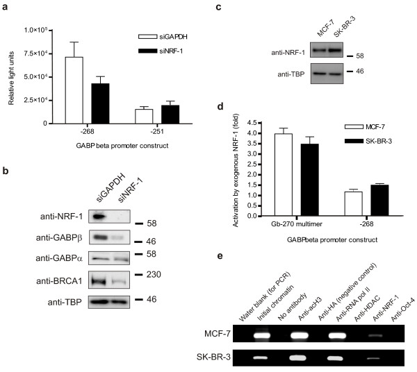 NRF-1 loss attenuates GABPβ promoter activity and GABPβ/BRCA1 expression; NRF-1 is consistent between cell lines . ( a ) The transcriptional activity of the GABPβ promoter constructs -268, which contains the NRF-1 binding site, and -251 which does not, was assessed in MCF-7 cells via dual luciferase assay in the presence of siRNA against GAPDH (siGAPDH, negative control) and NRF-1 (siNRF-1). Promoter activity is expressed as relative light units. ( b ) The protein levels of NRF-1, GABPβ, GABPα, BRCA1 and TBP (internal control) were assessed by Western blot in whole cell lysates prepared from MCF-7 cells treated with siGAPDH or siNRF-1. ( c ) NRF-1 levels were determined by Western blot in MCF-7 and SK-BR-3 whole cell lysates. TBP was used as an internal control. Apparent molecular weight markers (kDa) are indicated to the right of the panels. ( d ) The activity of two GABPβ promoter constructs, Gb-270 multimer (which contains a triple repeat of the Gb-270 sequence specified in Figure 6) and -268 (see part a ), was examined via dual luciferase assay in MCF-7 and SK-BR-3 cells following exogenous NRF-1 expression. Promoter activation by NRF-1 is expressed as a fold relative to empty vector controls in each cell line. ( e ) A ChIP assay was performed using MCF-7 and SK-BR-3 chromatin and antibodies against acetylated histone H3K9 (acH3), haemagglutinin (HA, negative control), RNA polymerase II (RNA pol II), histone deacetylase I (HDAC), NRF-1 and Oct-4 (transcription factor, negative control). PCR products obtained using primers specific to the GABPβ promoter (refer to Methods) are shown.