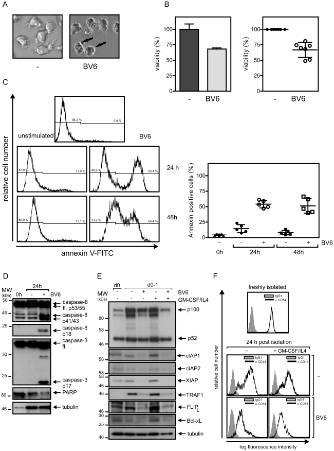 SMAC mimetic BV6 induces cell death in monocytes. (A) Monocytes were isolated from peripheral blood mononuclear cells by MACS separation, cultivated for 1 day in GM-CSF/IL4 supplemented medium in the presence and absence of 10 µM BV6 and finally visually inspected by microscopy. (B) Monocytes were cultivated with 10 µM BV6 for 1 day and viability was assessed using the MTT assay (triplicates, left panel). Viability of BV6 treated cells were normalized against corresponding control samples receiving no BV6 (n = 7, right panel). (C) Effect of 10 µM BV6 on monocyte viability was determined after overnight incubation by annexin-V staining. Left panel shows a representative analysis of one individual sample and the right panel summarizes the data of monocytes independently derived from 5 buffy coat samples. The mean is indicated by a horizontal line. (D) Freshly isolated monocytes (0 h) and monocytes cultivated overnight in GM-CSF/IL4 (24 h) were analyzed by western blotting with respect to the processing of the indicated caspases and PARP-1. (E and F) Freshly isolated monocytes and monocytes cultivated in the presence of the indicated mixtures of GM-CSF/IL4 and 10 µM BV6 were analyzed by western blotting (E) and FACS (F) with respect to the expression of the indicated proteins. The western blot data shown were representative for two – four independent experiments.