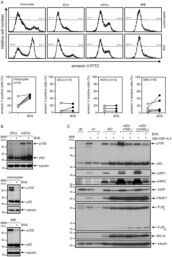 Monocyte-derived dendritic cells and macrophages are barely sensitive for BV6-induced cell death. (A and B) Monocyte-derived macrophages, immature and Fc-CD40L maturated monocyte-derived dendritic cells were challenged for one day with and without 10 µM BV6. Cells were then analyzed by annexin-V staining for cell death induction (A; upper panel: representative analysis of one individual sample; lower panel: summary of the data of 3 independent DC experiments and 6 independent experiments with monocytes and macrophages). p100 processing were determined by western blotting and is shown for one representative experiment (B). (C) Monocytes cultivated overnight in <t>GM-CSF/IL4,</t> iDCs obtained after 7 days of cultivation with GM-CSF/IL4 and mDCs maturated with TNF or Fc-CD40L were analyzed by western blotting with respect to the expression of the indicated proteins (data shown are representative for four independent experiments).