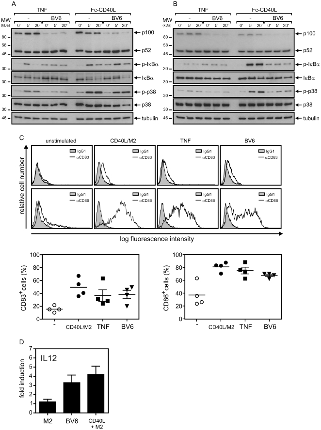 """SMAC mimetic BV6 attenuates TNF- and CD40L-induced proinflammatory signaling and triggers DC maturation. (A and B) Immature monocyte-derived dendritic cells (iDCs) were generated by cultivation for 7 days with GM-CSF/IL4. To obtain mature dendritic cells (mDCs), iDCs were further treated with Fc-CD40L (200 ng/ml) for 2 days. mDCs were then cultivated in Fc-CD40L–free medium for additional 24 hours with and without 10 µM BV6 and were stimulated for the indicated times with TNF (200 ng/ml) and Fc-CD40L (200 ng/ml) (A). iDCs were primed overnight with 10 µM BV6 and were then challenged for 5 and 20 min with TNF (200 ng/ml) and Fc-CD40L (200 ng/ml) (B). iDCs and mDCs were finally analyzed by western blotting to determine the presence of the indicated proteins. The results shown with mDCs are representative of three independent experiments, the results with iDCs for two experiments. (C) iDCs were treated with 10 µM BV6, 300 ng/ml TNF and 1 µg/ml of Flag-CD40L oligomerized with 1 µg of the Flag-specific mAb M2 or as a control remained untreated. After three days cells were analyzed by FACS for the cell surface expression of CD83 and CD86. (upper panel: representative analysis of one individual sample; lower panel: summary of the data of iDCs of 4 independent donors. (D) Cell culture supernatants from """"C"""" were analyzed for the presence of IL12. IL12 production was normalized to the corresponding values of untreated cells. The average of experiments with five independent donors is shown."""