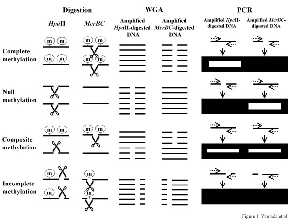 Principles of the Hpa II- McrBC whole-genome-amplification PCR (HM-WGA-PCR) method . The two parallel lines in the