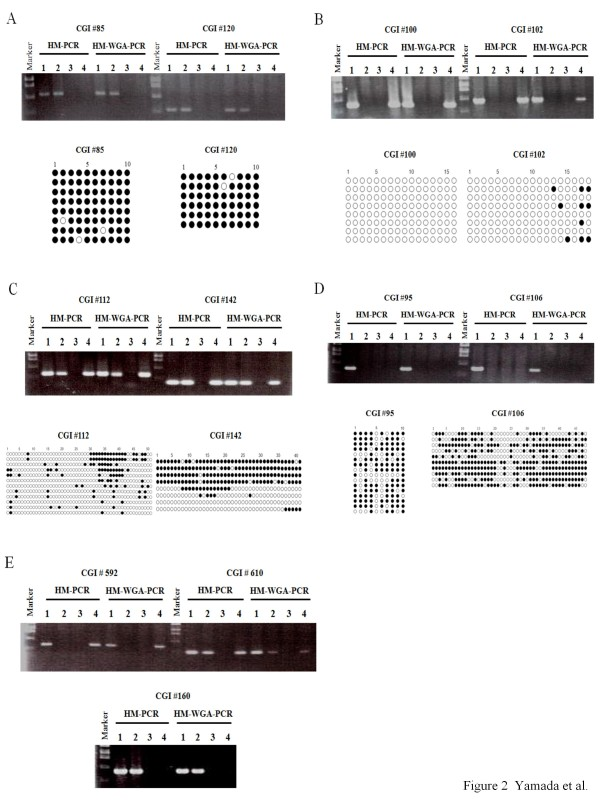 Comparison of HM-PCR and HM-WGA-PCR results for eleven CGIs . Genomic DNA from peripheral blood leukocytes was digested with Mock (lane 1), <t>Hpa</t> II or Hha I (lane 2), Msp I (lane 3), or <t>McrBC</t> (lane 4). The digested genomic DNA were used for PCR amplification either directly (left; HM-PCR) or after whole-genome-amplification (right; HM-WGA-PCR) using primer pairs for the eight CGIs on chromosome 21 (A~D) and three CGIs on chromosome 11 (E). Here, when Hha I-digested genomic DNA was used in lane 2, 1 ul of distilled water was used in lane 3 in place of Msp I-digested genomic DNA. PCR products were electrophoresed, stained with ethidium bromide, and visualized by UV illumination. Results of bisulfite sequencing are shown for the eight CGIs on chromosome 21 (A~D). Open and closed circles indicate unmethylated and methylated CpG dinucleotides, respectively. Each row of circles represents each sequenced clone of bisufite PCR products.