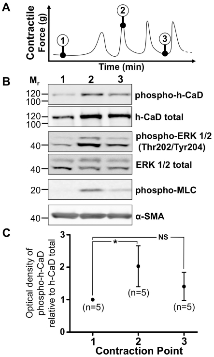 h-CaD and ERK 1/2 phosphorylation during myometrial contractions  in vitro . (A) Myometrial strips were snap frozen at specific stages during the development of contractions. The tissue was then pulverised and subjected to protein extraction. Protein (20 µg) was separated by 1D PAGE and transferred to a nitrocellulose membrane. (B) Membranes were probed with antibodies against phospho-h-CaD (1∶2000), total h-CaD (1∶2000), phospho-ERK 1/2 (1∶2000) and total ERK 1/2 (1∶2000), as well as α-SMA (1∶10000), representative images shown of 5 replicates. (C) Non-parametric analyses of the non-normalised raw data revealed a statistically significant 2-fold increase in h-CaD phosphorylation during the transition from point 1 to point 2. No significant difference was observed between contraction points 1 and 3 or 2 and 3. *p