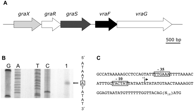 The graXRS operon is transcribed from a σ A promoter. (A) The graXRS / vraFG locus of S . aureus HG001. (B) Primer extension analysis of graXRS mRNA was carried out using total RNA extracted from S. aureus strain HG001 during mid-exponential growth in TSB at 37°C. Primer extension experiments were performed using the graX -specific oligonucleotide MF63 (lane 1). The corresponding Sanger dideoxy chain termination sequencing reactions (GATC) were carried out on a PCR-generated DNA fragment fragment corresponding to the graX upstream region (MF62/MF63). The transcriptional start site is boxed. (C) Nucleotide sequence of the graXRS operon upstream region. Potential σ A -type -35 and −10 sequences are boxed and the transcriptional start site is labelled +1.
