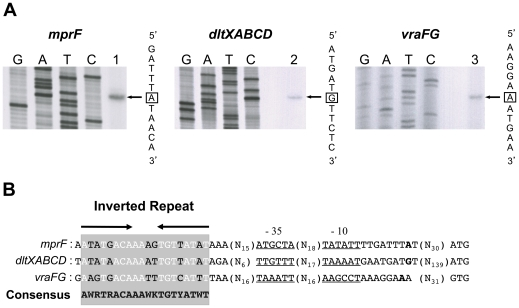 Identification of potential GraR-binding sites in the promoters of known GraR-regulated genes. (A) Primer extension analysis of mprF , dltXABCD and vraFG transcripts was carried out using total RNA extracted from S. aureus strain HG001 treated with 200 µg ml −1 colistin during mid-exponential growth at 37°C in TSB, using specific oligonucleotides for mprF , dltX and vraF (lanes 1 to 3 respectively). The corresponding Sanger dideoxy chain termination sequencing reactions (GATC) were carried out on PCR-generated DNA fragments corresponding to the respective upstream regions (see Table 5 ). The transcriptional start sites are boxed. (B) Alignment of the potential GraR DNA-binding sites in the mprF , dltXABCD and vraFG promoter regions. The potential GraR-binding site is shaded and conserved nucleotides are shown in white. Potential −35 and −10 sequences are underlined and the transcriptional start sites are indicated in bold.