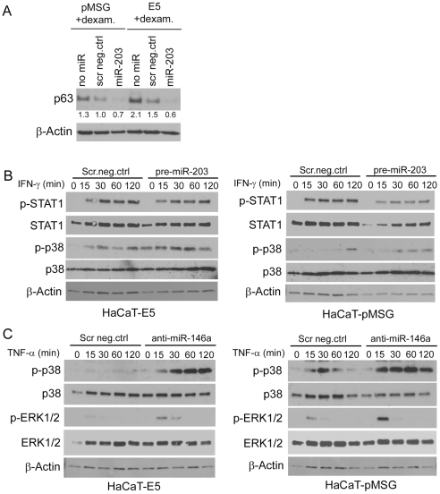 Effect of miRNA transfections on p63 expression and activation of TNF-α or IFN-γ signaling. HaCaT-E5 and –pMSG cells were transfected with 20 nM pre-miR-203 or scrambled miRNA negative control (scr neg.ctrl). After overnight incubation, the cells were serum-starved for 24 h, and subsequently treated with 1 µM dexamethasone to induce E5 expression. Forty-eight hours after induction the cells were harvested and the cell lysates analysed for p63 expression by western blotting. Equal loading was confirmed by probing the same filter with β-actin. The numbers below each lane represent p63 protein expression fold change normalized to β-actin relative to scr neg.ctrl of pMSG cells ( A ). HaCaT-E5 and -pMSG cells were transfected with scr neg.ctrl miRNA, and with either pre-miR-203 ( B ) or with anti-miR-146a ( C ). The transfection procedure was as described for A . Before harvesting, the cells were treated with IFN-γ (10 ng/ml) ( B ) or TNF-α (20 ng/ml) ( C ) for indicated periods of time. The cell lysates were analyzed with western blotting for phospho-p38 (p–p38), phospho-STAT1 (p-STAT1; B ), or phospho-ERK1/2 (p-ERK1/2; C ). The levels of total p38, STAT1, ERK1/2, and β-actin were determined as controls.
