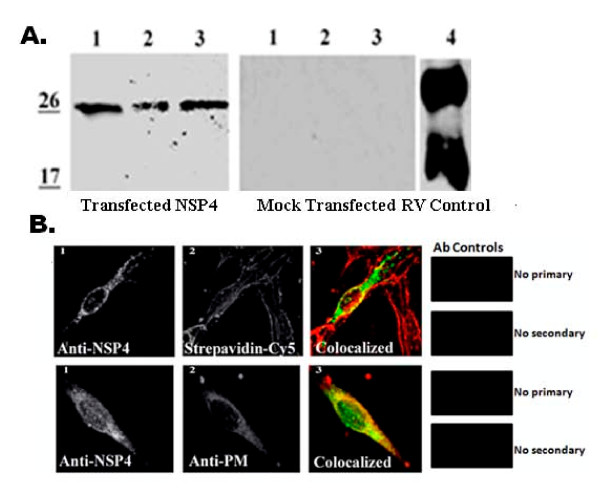 Transfected NSP4 travels to the cell surface in the absence of other viral proteins . A . BHK-21 cells were transfected with pcDNA3.2 NSP4 1-175 and surface biotinylated at 20 h post transfection at 4°C. Cells were lysed and surface proteins were precipitated with streptavidin agarose (left panel). Mock transfected cells were treated identically and served as controls (middle panel). Lanes 1 are the cell lysates from transfected or un-transfected cells and lanes 2 are the surface biotinylated, streptavidin pull downs of the transfected (left) or mock-transfected (center) cells. Lanes 3 show the transfected or mock-transfected lysates following biotinylation and streptavidin pull-down. RV-infected cell lysate (right panel) is shown as a NSP4 control. Note that substrate with femtogram sensitivity was used to detect the expression of transfected NSP4. B . BHK-21 cells were grown on glass cover slips, transfected with pcDNA3.2 NSP4 1-175 , surface biotinylated in the cold, and probed with affinity-purified anti-NSP4 150-175 and anti-rabbit IgG-CY2 (all panels) and either streptavidin-CY5 (top panels) or mouse anti- Na + /K + -ATPase and anti-mouse IgA-Texas Red (bottom panels,). Cells were visualized with a Stallion Digital Workstation. The colocalized images with surface molecules pseudo-colored red and NSP4 pixels pseudo-colored green are shown in panels 3. Yellow pixels indicate the areas of pixel overlap. On the far right is shown the antibody controls.