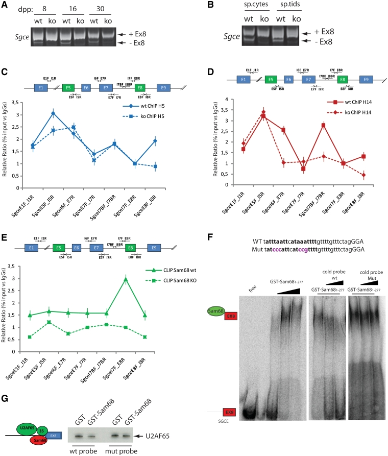 Sam68 regulates alternative splicing of Sgce exon 8 in male germ cells. RT–PCR analysis of Sgce exon 8 inclusion in total RNA extracted from Sam68 wild-type or knockout testes at 8, 16 and 30 days post partum (dpp) ( A ) or from isolated wild-type or knockout spermatocytes and spermatids. ( B ) Bands corresponding to mRNAs containing or not, exon 8 are indicated on the right of the panels. ( C and D ) Chromatin immunoprecipitation (ChIP) analysis of Sam68 wild-type and knockout germ cells. Sonicated chromatin (100 µg of DNA/sample) was immunoprecipitated with 2µg of H5, H14 antibodies or control rabbit IgGs and co-precipitated DNA was analysed by real time PCR with primers (black arrows in the scheme) spanning the Sgce transcription unit as indicated. ( E ) CLIP analysis of the binding of Sam68 to Sgce pre-mRNA. After UV crosslink, Sam68 wild-type and knockout germ cell extracts were sonicated and treated with DNase and RNase to yield RNA fragments of ∼200 to 250 nt. Wild-type and knockout germ cell extracts were immunoprecipitated with 2 µg of rabbit IgGs or anti-Sam68 antibodies and co-precipitated RNA was analysed by real time PCR with primers (black arrows in the scheme) spanning the Sgce transcription unit as indicated. ( F ) Electrophoretic mobility shift assays (EMSAs) of the binding of purified GST-Sam68 1–277 to a labelled Sgce probe containing the sequences encoded at the intron 7/exon 8 boundary. The position of the free probe and the probe complexed with GST-Sam68 1–277 are shown on the left side. Competition with the wild-type (middle panel) or mutated (right panel) cold probes is shown. The scheme above the gels shows the wild-type and mutated sequence used in the EMSAs. The mutated bases that interfere with the Sam68 consensus are shown in violet. ( G ) The western blot analysis of RNA pulldown assay of U2AF65 binding to Sgce exon 8. Biotinylated RNAs encoding the Sgce wild-type and mutated exon 8 sequences (from −32 to +63) were bound to Streptavidine agarose beads and incubated with testicular nuclear extract (100 µg) in the presence of 1 µg of purified GST or GST-Sam68 1–277, as indicated.
