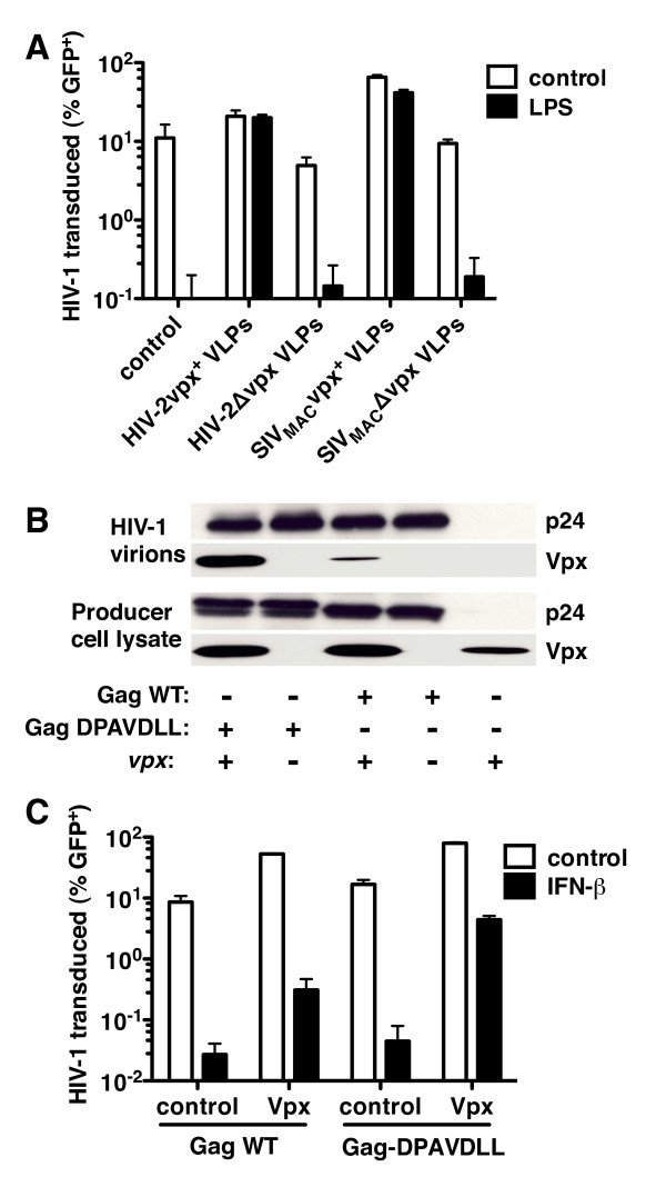 Among VLP constituents, Vpx is necessary and sufficient to rescue HIV-1 from type I IFN . ( A ) MDDCs were treated with LPS for 24 hrs, then treated for 3 hrs with media or the indicated VSV-G-pseudotyped HIV-2 ROD or SIV MAC-251 VLPs, and finally challenged with a VSV-G-pseudotyped HIV-1 NL4-3 GFP reporter virus. Infectivity was measured by flow cytometry. ( B ) As indicated, 293T cells were co-transfected with a codon optimized SIV MAC251 vpx expression plasmid and HIV-1 GFP reporter vectors bearing either wild-type Gag or Gag with an engineered Vpx binding motif (DPAVDLL). Proteins from the cell lysate and from virion preparations were separated by SDS-PAGE and then immunoblotted with anti-Vpx or anti-p24 antibodies. ( C ) MDDCs treated with IFN-β for 24 h and were then challenged with VSV-G-pseudotyped HIV-1 GFP reporter vectors with wild-type HIV-1 Gag or HIV-1 Gag bearing the engineered Vpx binding motif (DPAVDLL). Both HIV-1 reporter vectors were produced in the presence of empty pcDNA3.1 plasmid or pcDNA3.1 containing a codon-optimized SIV MAC-251 vpx <t>cDNA.</t> Data are representative of one of at least three independent experiments. Error bars represent ± SD (n = 3).