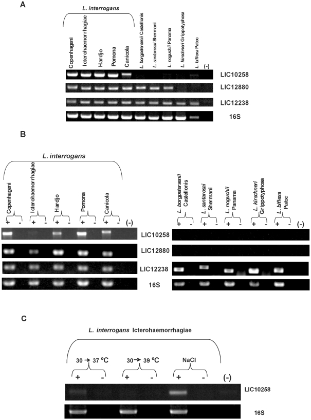 Distribution and expression of LIC10258, LIC12880 and LIC12238 genes in saprophytic and pathogenic leptospires. (A) Genomic DNA from L. biflexa Patoc and from nine serovars belonging to the pathogenic species of Leptospira were subjected to PCR analysis with specific primers designed according to L. interrogans serovar Copenhageni genome sequences. Amplification of 16S DNA shows template integrity. No DNA was added to the negative control reaction (-). (B) RT-PCR analysis of LIC10258, LIC12880 and LIC12238 transcripts in high-passage Leptospira strains. Reactions were performed with specific primers designed according L. interrogans serovar Copenhageni. Samples quantity and integrity were verified by amplification of 16S ribosomal cDNA fragment. +: reverse transcriptase present. -: reverse transcriptase omitted. No cDNA was added to the negative control reaction (-). (C) Transcript analysis of LIC10258 in L. interrogans serovar Icterohaemorrhagiae after submission of bacterial culture to temperature upshift from 30 to 37°C, 30 to 39°C and to physiological osmmolarity.