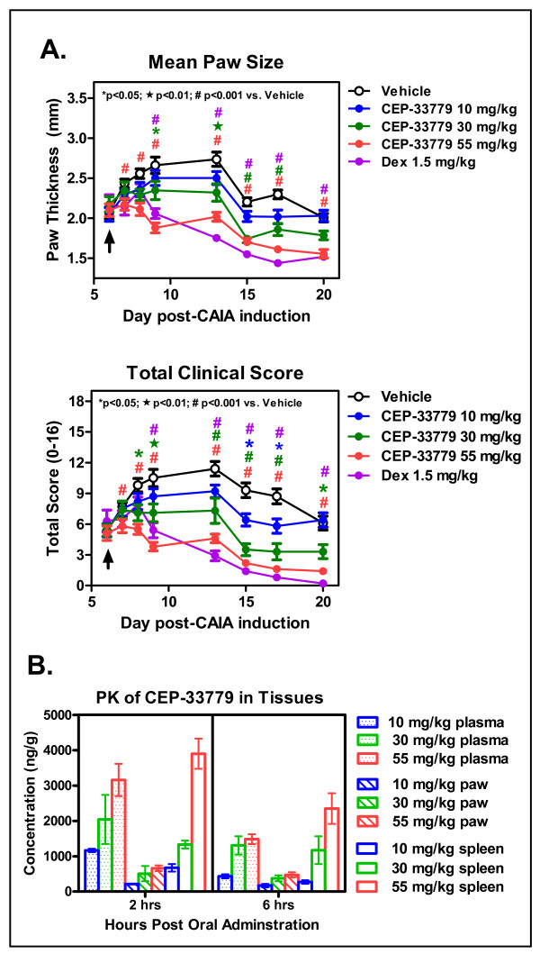 JAK2 blockade ameliorates collagen antibody-induced arthritis (CAIA) paw inflammation . Female DBA/1 mice were injected intravenously (i.v.) with purified anti-collagen type II (anti-CII) antibodies, and then 25 μg of lipopolysaccharide (LPS) was administered intraperitoneally (i.p.) 3 days later to induce arthritis by day 5. Mice that met the arthritis criteria score of 1 per paw were entered into the study. CEP-33779 was administered p.o. twice daily (b.i.d.) throughout the experiment, 1.5 mg/kg dexamethasone (Dex) was administered i.p. three times weekly and vehicle (PEG400 + 1% dimethyl sulfoxide (DMSO)) was administered p.o. (A) Mean paw size (individual paws measured for thickness) measured over time (top) and total clinical score from each paw were recorded (bottom). * P
