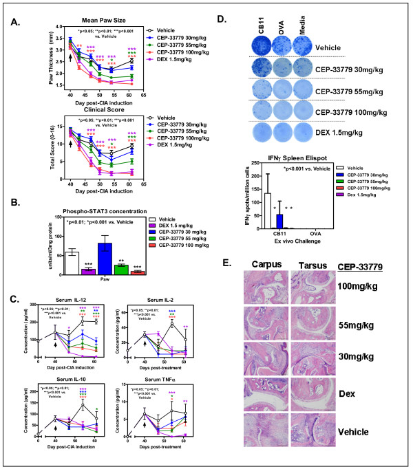 JAK2 blockade reduces several disease correlates in a model of chronic degenerative arthritis . Female DBA/1 mice were injected with purified CII in Complete Freund's Adjuvant (CFA) i.d., then boosted with CII in Incomplete Freund's Adjuvant (IFA) s.c. on day 21 followed by a day 28 LPS injection i.p. to induce collagen-induced arthritis (CIA). Mice that scored 1 or better for each paw were considered arthritic and entered into the study. Treatments started after 7 to 10 days of full arthritis. CEP-33779 was administered p.o., b.i.d., throughout the remainder of the experiment. Dex was administered i.p. at 1.5 mg/kg three times weekly, and vehicle was PEG400 + 1% DMSO p.o., b.i.d. (A) Mean paw size (individual paws measured) and clinical scores for each mouse are graphed. (B) Phospho-STAT3 expression in the paws of treated CIA mice. (C) Serum cytokines (IL-12, IL-2, IL-10 and TNFα) from treated CIA mice. (D) Representative ELISPOT images showing IFNγ enzyme-linked immunosorbent spot (ELISPOT) assay results from stimulated splenocytes from treated mice challenged with CII fragment (CB11), chicken ovalbumin (OVA) or media alone. Graph was constructed using data from five mice tested from each group. Spots were counted using a CTL ImmunoSpot ELISPOT scanner and spot-counting software. (E) Hematoxylin and eosin-stained, paraffin wax-embedded sections from treated CIA mice showing joint infiltrates and bone resorption. Representative (pathologist-selected) images are shown at × 10 original magnification. Safranin O-stain sections are not shown but were used for scoring. All graphs show means ± SEM, and all statistics were calculated using Prism software and two-way ANOVA. * P