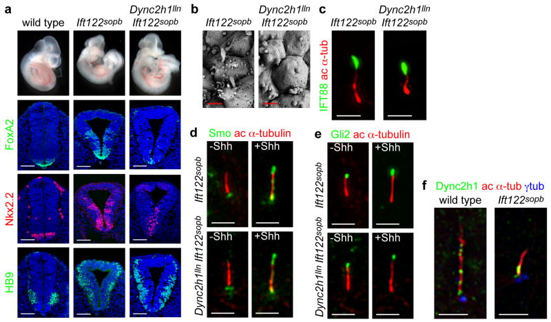 Neural patterning and cilia morphology in Dync2h1 lln Ift122 sopb embryos ( a ), In contrast to the lack of ventral neural cell types in Dync2h1 lln/lln mutants, both Ift122 sopb/sopb single and Dync2h1 lln/lln Ift122 sopb/sopb double mutants specify floor plate (FoxA2, green), V3 progenitors (Nkx2.2, red) and motor neurons (HB9, green) in the lumbar neural tube. Scale bars represent 100 μm. ( b ), Scanning electron micrographs of neural tube cilia from the neural tube of E10.5 Ift122 sopb/sopb and Dync2h1 lln/lln Ift122 sopb/sopb embryos. The distal ends of Ift122 sopb/sopb mutant cilia appeared swollen. Dync2h1 lln/lln Ift122 sopb/sopb mutant cilia were similar in diameter to Ift122 sopb/sopb but were shorter than either Dync2h1 lln/lln or Ift122 sopb/sopb single mutants (See Supplementary Table 1 ). Scale bars represent 500 nm. ( c ), IFT88 (green) accumulates specifically at the distal tips of both Ift122 sopb/sopb and Dync2h1 lln/lln Ift122 sopb/sopb mutant MEF cilia. Acetylated α-tubulin staining (red) marks primary cilia. Localization of Smo ( d , green) and Gli2 ( e , green) in the cilia of Ift122 sopb/sopb and Dync2h1 lln/lln Ift122 sopb/sopb mutant MEFs. Acetylated α-tubulin (red) marks cilia. ( f ), Dync2h1 protein is present at the base of the cilium and along the ciliary axoneme in wild-type cells. In Ift122 sopb/sopb mutant cilia, Dync2h1 localization accumulates mainly at the base of the cilium. Orientation for ( b-f ) is distal tip up. Scale bars are 1 μm ( d-f ).