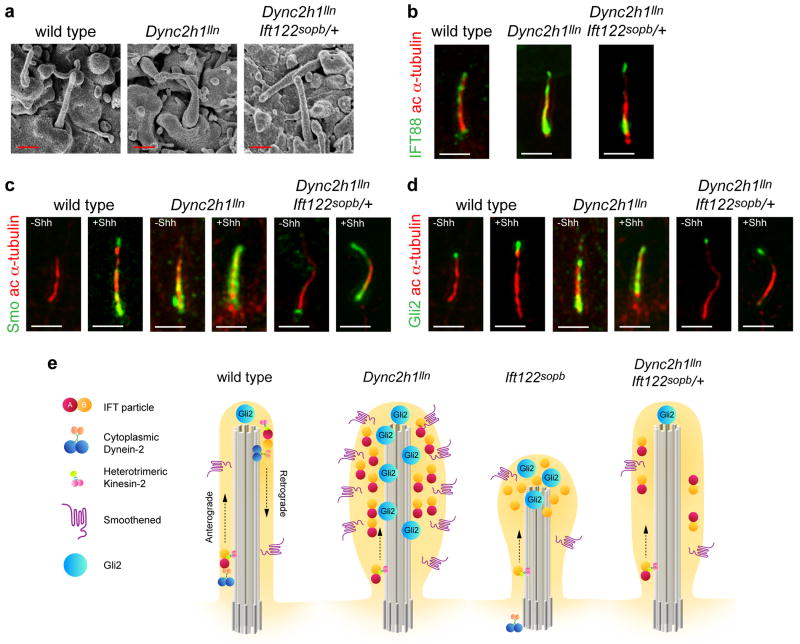 Cilia morphology in Dync2h1 lln/lln Ift122 sopb /+ compound mutants ( a ), SEM analysis of neural tube primary cilia show the more normal length and width of Dync2h1 lln/lln Ift122 sopb /+ mutants compared to Dync2h1 lln/lln . Quantitation in Supplementary Table 1 . Scale bars are 500 nm. ( b-d ), Localization of IFT88 ( b , green), Smo ( c , green) and Gli2 ( d , green) in cilia (acetylated α-tubulin, red) appear normal in Dync2h1 lln/lln Ift122 sopb /+ mutants. Scale bars are 500 nm ( b-d ). ( e ) Model of the trafficking of mammalian IFT and Hh pathway proteins in the primary cilium, shown in the absence of Hh ligand. In wild-type cells, IFT directs the formation of cilia, which accumulate a basal level of Gli2 at cilia tips, while Smo traffics through the cilium at a low basal rate. Loss of retrograde motor in Dync2h1 lln/lln mutant cilia leads to the accumulation of IFT particles and blocks the movement of both Smo and Gli2 out of the cilium. In Ift122 sopb/sopb mutants, Dync2h1 protein fails to enter the cilium, leading to the accumulation of IFT-B particles. Loss of IFT122 also results in the accumulation of Gli2 but does not affect Smo trafficking. Decreased anterograde ciliary trafficking in Dync2h1 lln/lln Ift122 sopb /+ suppresses the Dync2h1 lln/lln phenotype and permits normal transport of both Smo and Gli2 through the cilium.