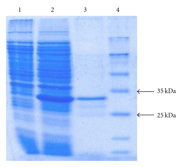 SDS-PAGE analysis of recombinant Li-P4 produced in BL21, Lane 1: bacterial lysate before induction, Lane 2: bacterial lysate after induction with IPTG, Lane 3: purified recombinant Li-P4, and Lane 4: molecular weight marker.