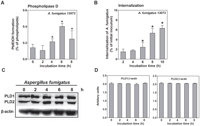 A. fumigatus stimulates PLD activity during its internalization into A549 cells. A. A549 cells were prelabeled with [ 3 H] oleic acid and infected with the resting conidia of A. fumigatus 13073 at an MOI of 10 for the indicated time periods. Then, ethanol was added to determine the PLD activity. B. A549 cells were infected with the resting conidia of A. fumigatus 13073 at an MOI of 10 for the indicated time periods, and the internalization of A. fumigatus was analyzed by the nystatin protection assay. Differences in [ 3 H] PtdEtOH formation between the 0 h time point and the other time points (A) and differences in the internalization of A. fumigatus between the 2 h time point and the other time points (B) were compared. In parallel, the cells were lysed for immunoblotting with the indicated antibody (C) and the densitometric analysis of immunoblots for three independent experiments is shown (D). Data are represented as the mean ± SE (n = 3–4), and the blots are characteristic of 3 independent experiments. *P