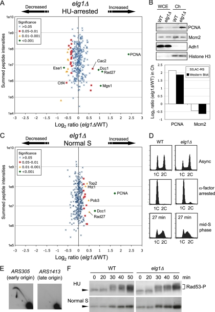 Chromatin association of PCNA and the flap endonuclease Rad27, but not Cdc45, GINS, or Ctf4, was increased in cells lacking Elg1. A , Changes in chromatin composition in HU-treated elg1 Δ cells, compared with HU-treated wild-type. elg1 Δ cells were labeled with [ 13 C 6 ]-Arg and [ 13 C 6 , 15 N 2 ]-Lys. Strains used are SHY201 and TKY18. B , Increase in chromatin-bound PCNA in HU-treated elg1 Δ cells confirmed by Western blot analysis. Strains used are SHY201 and TKY18. C , Changes in chromatin composition in elg1 Δ cells during normal S phase. elg1 Δ cells were labeled with [ 13 C 6 ]-Arg and [ 13 C 6 , 15 N 2 ]-Lys. Strains used are SHY201 and TKY18. D , Cell cycle progression was analyzed by flow cytometry. Wild-type and elg1 Δ cells were synchronized by blocking with α-factor in G1 phase and release into medium without HU. Both cultures were harvested in mid-S phase, 27 min after release. Positions of cells with 1C and 2C DNA contents are indicated. E , Two-dimensional gel analysis of EcoRI fragments containing ARS305 and ARS1413 in elg1 Δ cells released into S phase in the presence of 200 m m HU for 90 min at 30 °C. Strain used is TKY18. F , Kinetics of R ad53 phosphorylation in elg1 Δ cells. Rad53 was detected as in Fig. 6 B .