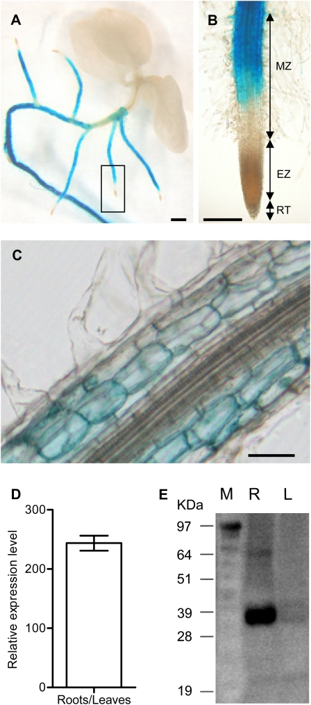 Ntann12 expression in 4-week-old plants. (A) pNtann12-GUS expression in whole tobacco plant; bar=1 mm. (B) Close-up of (A) showing pNtann12-GUS expression in the root tip; bar=0.5 mm. (C) GUS staining in a longitudinal section of the root; bar=100 μm. (D) Relative expression of Ntann12 in roots and in aerial parts of plants, as determined by qRT-PCR analysis. (E) Western blot analysis of total protein extracts (10 μg) from roots and leaves using anti-Ntann12 antibodies. EZ, elongation zone; L, leaf; M, molecular marker; MZ, maturation zone; RT, root tip; R, root.