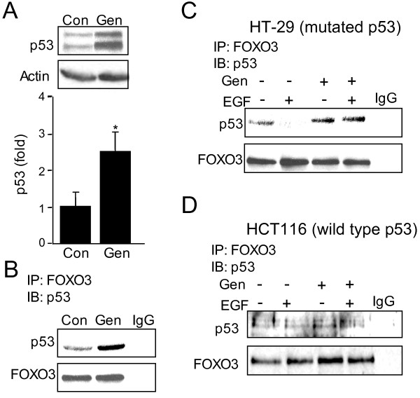 Genistein increases FOXO3-p53(mut) interaction in HT-29 cells . (A) Protein from control and genistein treated HT-29 cells was immunoblotted for p53. Genistein increased p53 expression 2.5-fold. The experiment was performed three independent times and quantified using densitometry (n = 3, *p