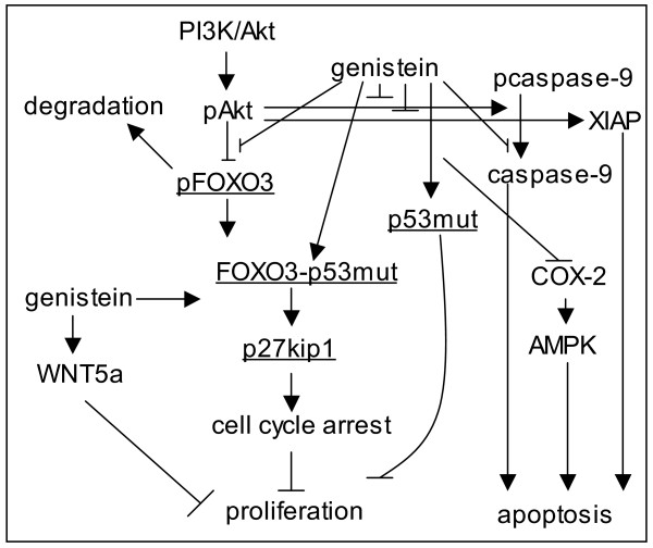 Genistein inhibits proliferation in colon cancer cells by promoting FOXO3 activity . Schematic representation of pathways targeted by genistein in colon cancer cells [ 7 - 9 , 13 , 21 , 50 ]. Genistein promotes FOXO3 activity by inhibiting PI3K/Akt and stimulating FOXO3 interaction with p53. Downstream, genistein-mediated FOXO3 activity increases p27kip1 expression, which promotes cell cycle arrest and leads to inhibition of proliferation.