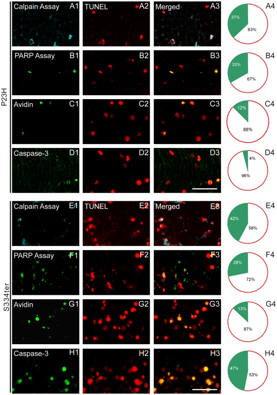 Fluorescence micrographs demonstrating the double-labelling of TUNEL with other metabolic markers. ( A2–H2 ) Double labelling of TUNEL with: ( A1 , E1 ) calpain assay, ( B1 , F1 ) PARP assay, ( C1 , G1 ) avidin and ( D1 , H1 ) caspase-3 in ( A–D ) P23H retina at PN15 and ( E–H ) S334ter retina at PN12 transgenic rats. ( A3–H3 ) Merged pictures. ( A4–H4 ) Right panel indicates the percentages of co-labelled cells in the ONL. In both mutants calpain and PARP activity co-localized with TUNEL in ∼30–40% of cells, while avidin-binding co-localized in 12–13% with TUNEL. Caspase-3 co-localization was observed in almost 47% of TUNEL-positive cells in S334ter but only in 4% in P23H retinas. Scale bar = 25 µm.