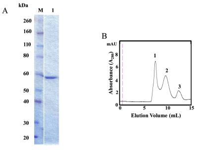 Characterization of GST-GAPDHS. ( A ) SDS-PAGE analysis of purified recombinant human GST–GAPDHS. GST-GAPDHS was expressed in the gapA-deficient E. coli strain DS112 and purified using glutathione-Sepharose. Coomassie-Blue stained 4-12% Bis-Tris gel, lane M, Prestained protein markers (Novex); lane 1, recombinant human GST-GAPDHS (2 µg). ( B ) Size exclusion chromatography of purified GST-GAPDHS. Purified human GST-GAPDHS was loaded on a Superose 12 column at 0.5 ml/min in 50 mM potassium phosphate pH 7.0, 400 mM NaCl buffer. The molecular size of the peaks indicated by the numbers were estimated as described previously [ 22 ].